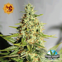 Barney's Farm  Seeds Company Acapulco Gold