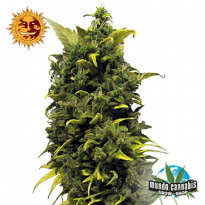 Barney's Farm Seeds Company Blue Cheese