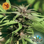 Barney's Farm Seeds Company Crimea Blue