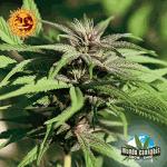 Barney's Farm Seeds Company Crimea Blue