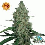 Barney's Farm Seeds Company G13 Haze