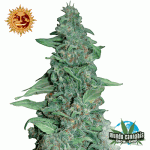Barney's Farm  Seeds Company Honey B