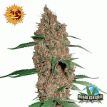 Barney's Farm Seeds Company Laughing Buddha