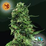 Barney's Farm Seeds Company LSD
