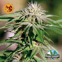 Barney's Farm Seeds Company Night Shade