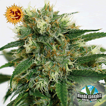 Barney's Farm Seeds Company Phatt Fruity