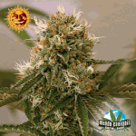 Barney's Farm Seeds Company Red Cherry Berry