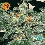 Barney's Farm Seeds Company Red Diesel