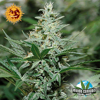 Barney's Farm Seeds Company Red Dragon
