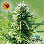 Barney's Farm Seeds Company Sweet Tooth