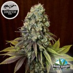 Dinafem Blue Widow