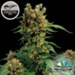 Dinafem California Hashplant