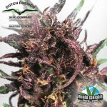 Dutch Passion Purple 1