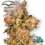 Dutch Passion Skywalker