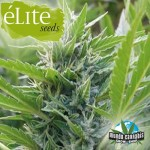 …lite Seeds Blue …lite Sativa