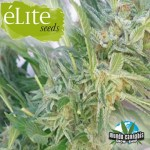 …lite Seeds …lite 47