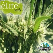 …lite Seeds Llimonet Haze