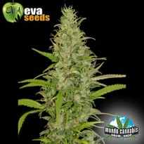 Eva Seeds High Level