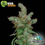 Eva Seeds Nexus