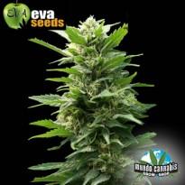 Eva Seeds TNT Kush