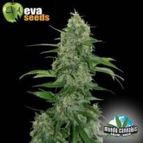 Eva Seeds Veneno