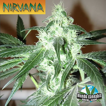 Nirvana ICE