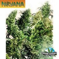 Nirvana Indoor Mix