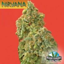 Nirvana Kaya Gold
