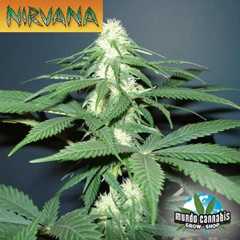 Nirvana Master Kush