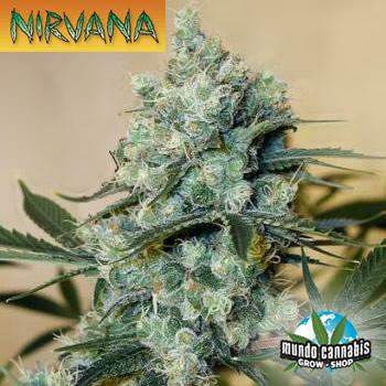 Nirvana Medusa