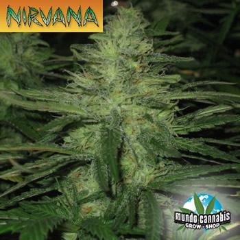 Nirvana Northern Lights