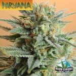 Nirvana Papaya