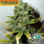 Nirvana Super Skunk
