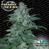 Paradise Seeds Magic Buds