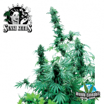 Sensi Seeds Early Skunk