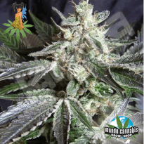 Sativa Seedbank Blackjack
