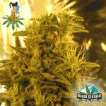 Sativa Seedbank Haze #13