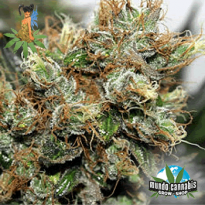 Sativa Seedbank New York Power Diesel