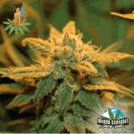 Sativa Seedbank Raspberry Cough