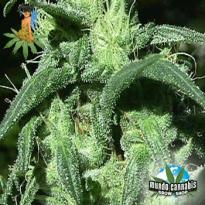 Sativa Seedbank Sterling Haze